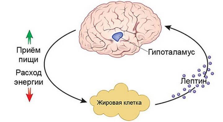 Схема взаимодействия лептина и мозга, зависимость от приёма пищи и расхода энергии