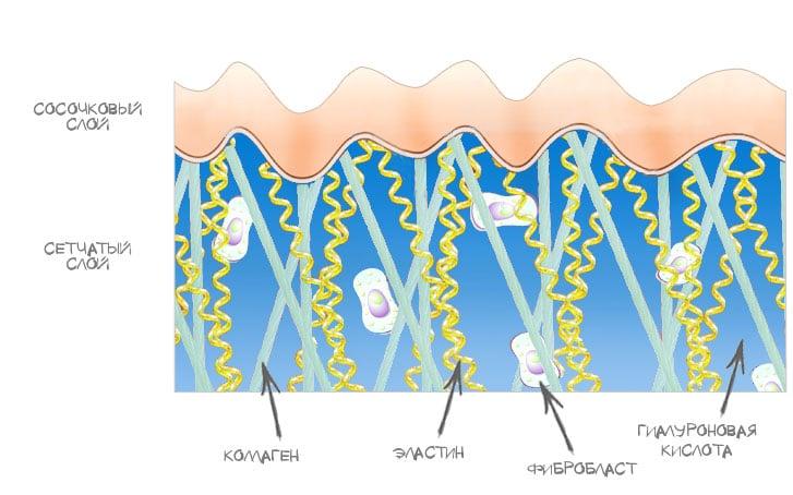 Строение кожи, как появляются морщины
