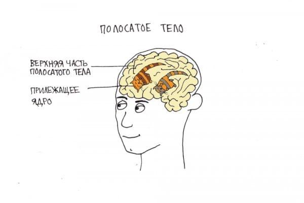 Полосатое тело в мозге