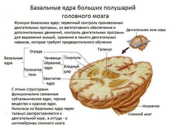 Базальные ядра больших полушарий головного мозга