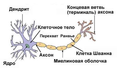 Типичная структура нейрона