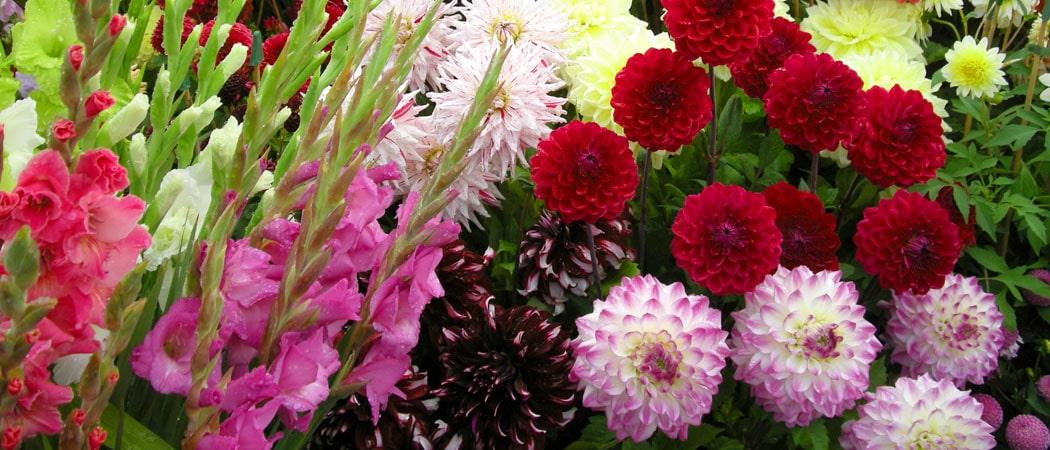 Георгины - красивые цветы